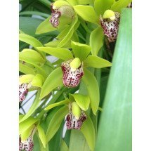 Cymbidium Cliff Hutchings `New Horizon` Dark Leaves 'BIG'