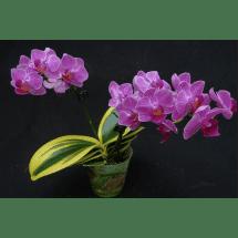 """Doritaenopsis Sogo Vivien """"Golden Vivien"""" """"Big"""""""