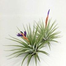 Vriesea espinosae