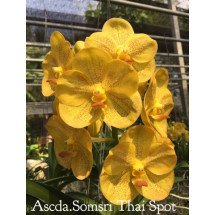 Ascocenda Somsri Thai Spot