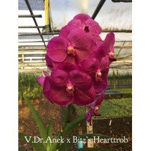 Vanda Doctor Anek x Bitz's Heartthrob