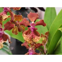 "Trichocentrum lancianum x Maureen ""Big Plant"""