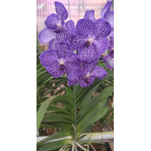 Vanda Exotic Purple 4N (selection 2)