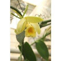 "Vanilla planifolia ""Green Leaves"""
