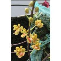 Phalaenopsis chibae