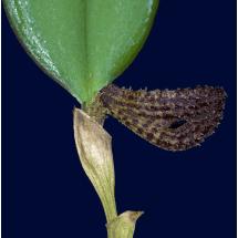 Zootrophion hypodiscus