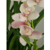 Cymbidium Great Flower `Marie Laurencin`