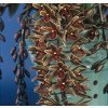 Cymbidium Gumnut Inp  `New Horizon`