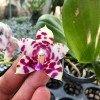 Phalaenopsis KS Super Zebra x Sogo Lobby