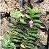 Schoenorchis scolopendria