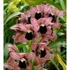 Cymbidium Magic Devon