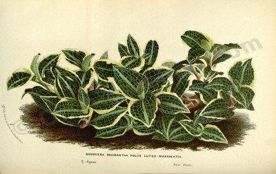 "Goodyera macrantha ""Big Plant"""