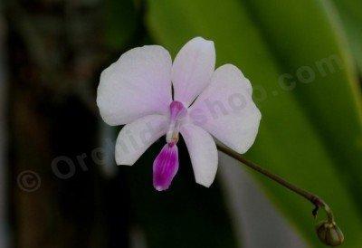 Phalaenopsis lowii 4N