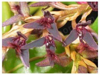 Bulbophyllum tremulum