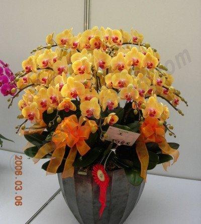 Dtps. Sin-Yaun Golden Beauty
