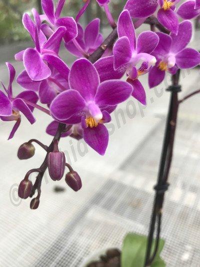 """Phalaenopsis equestris """"B#100"""" AM/AOS """"Dark Purpel"""""""