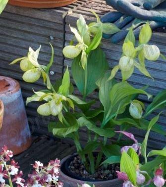 Cypripedium White Dove ''Big Plant''