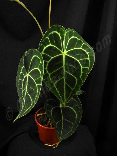 Anthurium clarinervium '' Import stam met een blad 1 / 2 balderen'' (2 stamen in de pod.)
