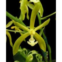Phalaenopsis mannii flava
