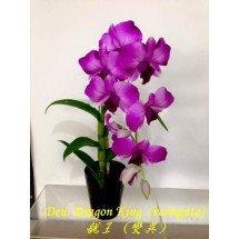Dendrobium Dragon King (variegata)  龍王 (變異)