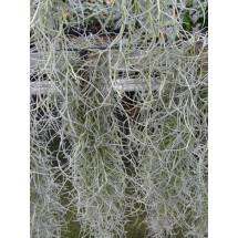 Tillandsia usneoides (Spanish moss)