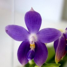 Phalaenopsis Purple Martin x Phalaenopsis violacea