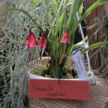 Dracula sodiroi (aaporchidee)