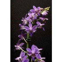 "Doriteanopsis Purple Gem ""Aida"""