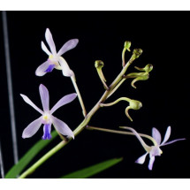 "Neofinetia falcata x Vanda coerulescens ""Big"""
