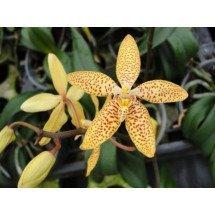 Renanthopsis Mildred Jameson