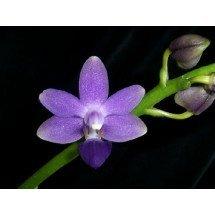 Doritaenopsis Purple Martin
