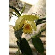 """Vanilla planifolia """"White Stripe Leaves"""""""