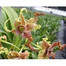 Dendrobium spectabile ''Big Plant''