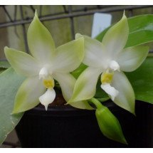 Phalaenopsis violacea var. alba