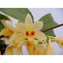 Dendrobium lamellatum
