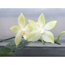 "Phalaenopsis speciosa ""Green"""