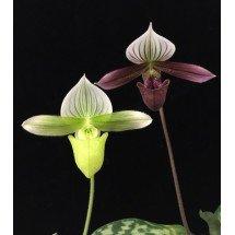 Paphiopedilum purpuratum x Paphiopedilum purpuratum alba