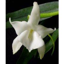 Angraecum magdalenae 'Big plant'