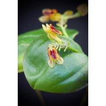 Lepanthes larvina