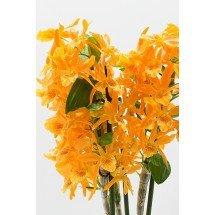 """Dendrobium nobile """"Firebird"""""""