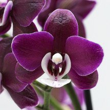 "Phalaenopsis Kaoda Twinkle ""Chocolate Drops"" AM/AOS"