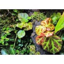Begonia rajah