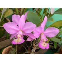 Cattleya nobilior