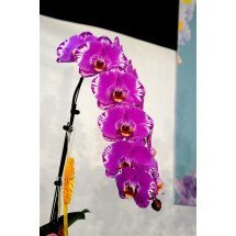 "Phalaenopsis OX Spot Queen ""OX 1460"" AM/AOS"