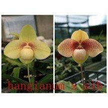 """Paphiopedilum hangianum """"#102"""" x hangianum """"#100"""""""