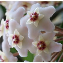 "Hoya carnosa ""Compacta"" Big Long plant"