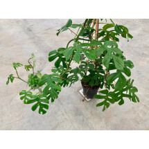 Monstera minima (Rhapidophora Tetrasperma) ''Big Plant''