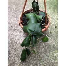 """Hoya imbricata """"Green Leaves''"""