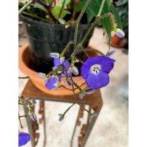 Dichorisandra penduliflora