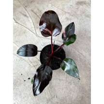 Philodendron Pink Princess (not much pink in at the moment)